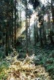 Naturbakgrund i den Alishan nationalparken, Taiwan på en våt och dimmig morgon Fotografering för Bildbyråer