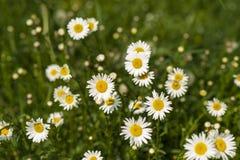 Naturbakgrund med att blomstra tusenskönablommor stänger sig upp i solig dag royaltyfri fotografi