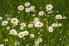 Naturbakgrund med att blomstra tusenskönablommor stänger sig upp i solig dag fotografering för bildbyråer