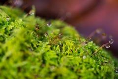 Naturbakgrund med daggdroppar på en mossa, litet djup av fältet Arkivbilder
