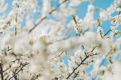Naturbakgrund med vita blommor som blomstrar i vår Arkivbild