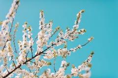 Naturbakgrund med vita blommor som blomstrar i vår Arkivfoton