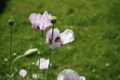 Naturblattschönheit des Mohnblumengartens grüne Farbblüht Sonnenlichtsommertag keine Leute draußen Stockfoto