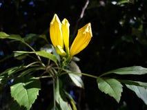 Naturblommaknoppen har det gul färg royaltyfri foto