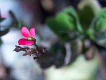 Naturblommascharlakansrött bakgrund Arkivfoto