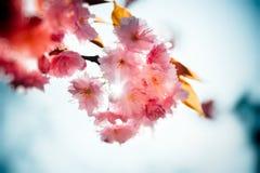 Naturblommaträdgård Sakura Royaltyfria Foton
