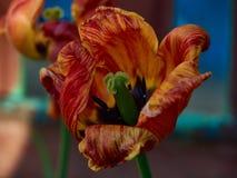 Naturblommor blommar bakgrund för bakgrunden för bakgrund för blomningtulpan röd blomstra säsongen blommad stor färgrik ljus Royaltyfri Fotografi