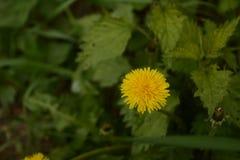 Naturblume Stockfotografie