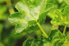 naturdetalj Grön bladtexturbakgrund, grönt blad i trädgården med små droppar av vatten begreppsuniversitetsl?raren gl?mmer global royaltyfri fotografi