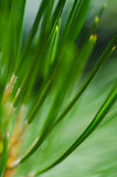 Nature�s Abstract � Pine Needles Stock Image