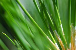 Nature's Abstract – Pine Needles Stock Photography
