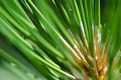 Nature's Abstract – Pine Needles Stock Images