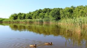 Nature湖和恋人野鸭草料 库存照片