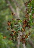 Nature étonnante ; le papillon de monarque Photographie stock libre de droits