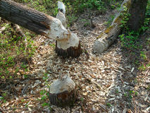 Nature 091. Trees, cut by a beaver royalty free stock photo