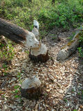 Nature 092. Trees, cut by a beaver royalty free stock photography