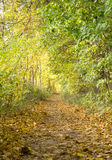Nature. Old autumn forest in the morning pore of day Royalty Free Stock Images