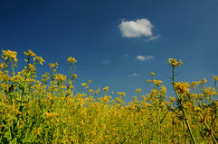 Nature. Yellow canola field against deep blue sky Royalty Free Stock Photography