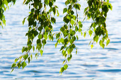 Nature. The beauty green leafage birch hang over water, nature outdoor Stock Images
