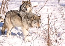 In nature. Two wolfs on snow in nature Royalty Free Stock Images