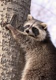 In nature. Raccoon in a tree during summer Royalty Free Stock Photo