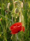 Nature. Close-up of red poppy flowers in summer stock photo