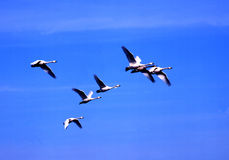Nature -61. The swan families come back to Noth homme Stock Images