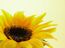 Nature. Close-ups of beauty sunflower on yellow background stock images