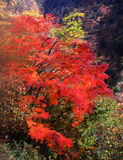 Nature -90. Japanese autumn scenery in mountain park-13 Royalty Free Stock Photo