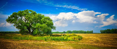 Nature. The big tree in the field, a summer landscape Stock Photo