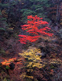 Nature -99. Japanese autumn scenery in mountain park-18 Royalty Free Stock Photo