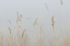 Nature Abstract – Amber Grass in the Morning Fog Royalty Free Stock Photo