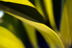 Nature Abstract, Agave Leaf Royalty Free Stock Photo