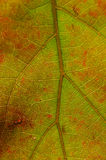 Nature Abstract - Cells and Veins of a Dying Leaf Royalty Free Stock Photos