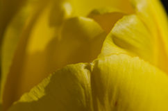Nature Abstract:  Close Look at the Delicate Yellow Tulip Petals of Spring Stock Photography