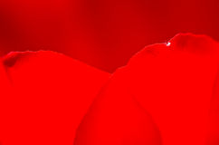 Nature Abstract:  Close Look at the Red Heart Shaped Tulip Petals of Spring Royalty Free Stock Photography