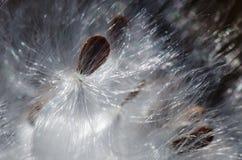 Nature Abstract: Elegant White Milkweed Fibers Presenting Their Seeds. Nature Abstract: Elegant White Milkweed Fibers Presenting Their Fragile Seeds royalty free stock photo