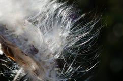 Nature Abstract: Elegant White Milkweed Seed Fibers. Nature Abstract: Elegant and Fragile White Milkweed Seed Fibers royalty free stock photos