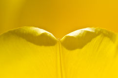 Nature Abstract:  Enveloped in the Golden Folds of the Yellow Tulip Petals Royalty Free Stock Images