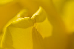 Nature Abstract:  Enveloped in the Golden Folds of the Yellow Tulip Petals Stock Images