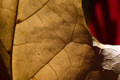 Nature Abstract - Epidermis Cells and Veins of a Dying Leaf Royalty Free Stock Photography