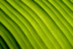 Nature abstract  green banana leaf Diagonal lines Royalty Free Stock Image