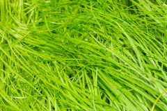 Nature abstract with green grass background royalty free stock photo