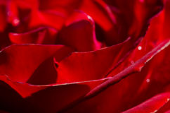 Nature Abstract: Lost in the Gentle Folds of the Delicate Rose Stock Photos