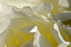 Nature Abstract: Lost in the Gentle Folds of the Delicate Rose Royalty Free Stock Photo