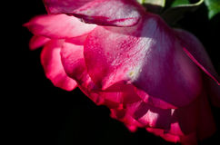 Nature Abstract: Lost in the Gentle Folds of the Delicate Rose Royalty Free Stock Photography