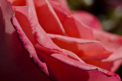 Nature Abstract: Lost in the Gentle Folds of the Delicate Rose Royalty Free Stock Images