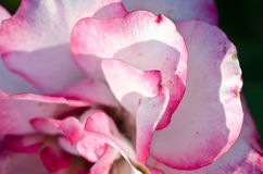 Nature Abstract: Lost in the Gentle Folds of the Delicate Rose Stock Image