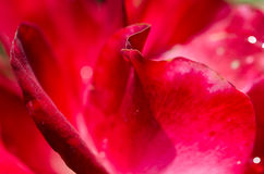Nature Abstract: Lost in the Gentle Folds of the Delicate Rose Royalty Free Stock Photos
