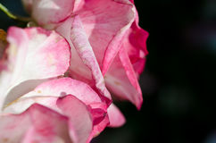 Nature Abstract: Lost in the Gentle Folds of the Delicate Rose Stock Photography